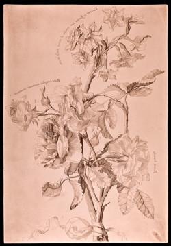 Fig. 3. Arnold Van Westerhout, Nuova raccolta di varie e diverse sorti di fiori (1631), etching on copper, 29.9 x 20.6 cm. Courtesy of Istituto Nazionale per la Grafica, Rome, VIC 1469/8.